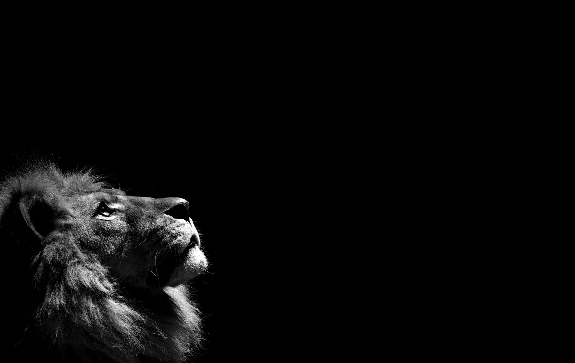 lion black and white hd photo wallpapers 2038 - hd wallpaper site