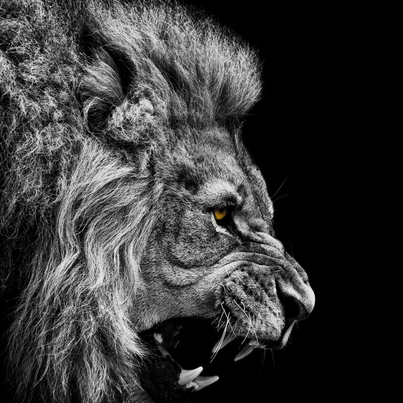 10 Most Popular Black And White Animal Wallpaper FULL HD 1080p For PC Desktop 2018 free download lion black and white wallpapers for laptops 2032 hd wallpaper site 800x800