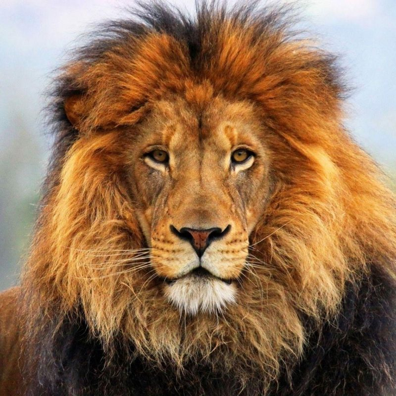 10 Most Popular Images Of Lions Faces FULL HD 1920×1080 For PC Desktop 2018 free download lion face wallpapers wallpaper cave 800x800