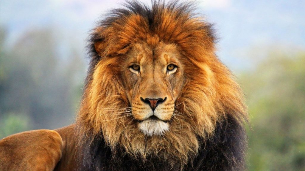 10 Most Popular Hd Lion Wallpapers 1080P FULL HD 1920×1080 For PC Desktop 2018 free download lion wallpaper hd 1080p free large images clipart pinterest 1024x576