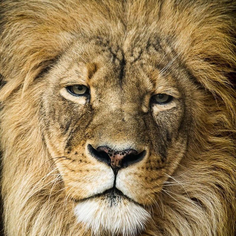 10 Most Popular Images Of Lions Faces FULL HD 1920×1080 For PC Desktop 2018 free download lions face up close lions tigers pinterest lions cat and animal 800x800