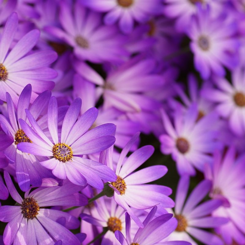 10 Most Popular Pic Of Purple Flowers FULL HD 1080p For PC Background 2018 free download little purple flowers hd hd desktop background 800x800