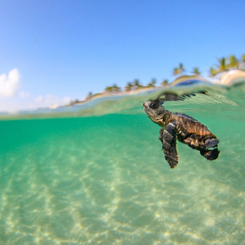 10 Best Baby Sea Turtle Wallpaper FULL HD 1080p For PC Background 2018 free download loggerhead sea turtle florida 1 800x800