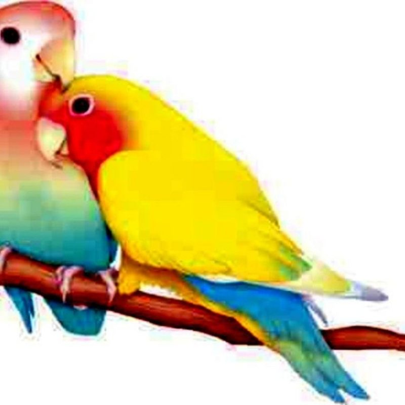 10 Latest Images Of Love Bird FULL HD 1080p For PC Background 2018 free download love birds graphic love bird wallpaper background hd for pc mobile 800x800