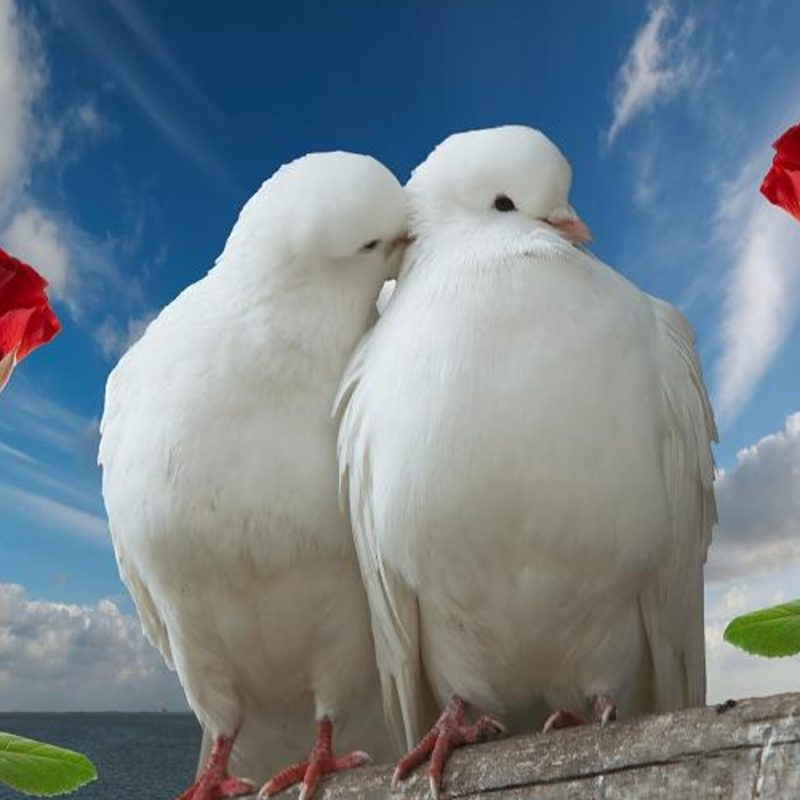 10 New Beautiful Wallpapers Of Love Birds FULL HD 1920×1080 For PC Desktop 2018 free download love birds images hd wallpapers beautiful images hd pictures 800x800