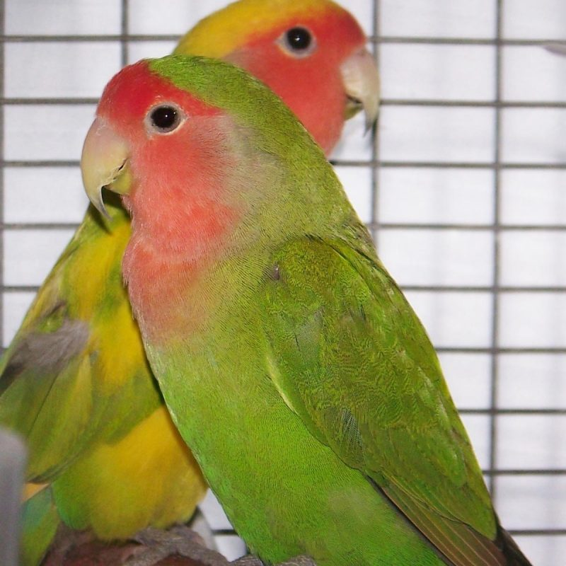 10 Latest Images Of Love Bird FULL HD 1080p For PC Background 2018 free download lovebird the oasis sanctuary 800x800