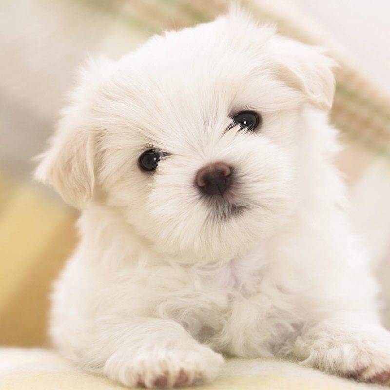 10 Most Popular Cute Puppy Wallpaper Hd FULL HD 1920×1080 For PC Background 2018 free download maltese puppy wallpapers hd wallpapers id 8160 800x800