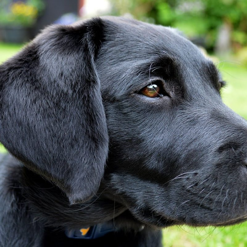 10 Best Pics Of Black Lab Puppies FULL HD 1080p For PC Background 2018 free download molly the black labrador puppy 10 14 weeks youtube 800x800