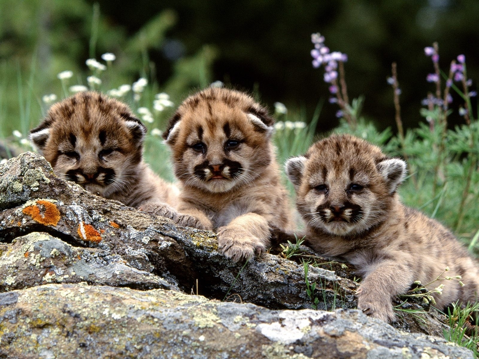 mountain lion cubs wallpaper baby animals animals wallpapers in
