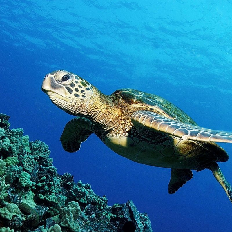 10 Top Sea Turtle Hd Wallpaper FULL HD 1920×1080 For PC Desktop 2018 free download ocean turtle hd wallpaper hd wallpapers 800x800