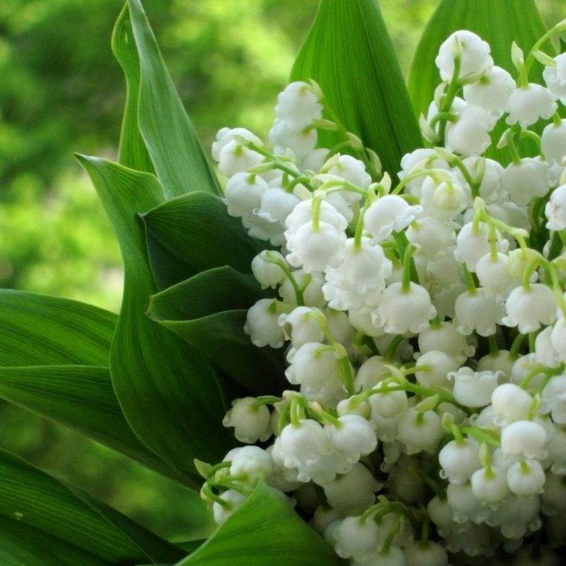 10 Top Lily Of The Valley Wallpapers FULL HD 1080p For PC Background 2018 free download of flowers lily the lily of the valley valley hd wallpapers 1 800x800