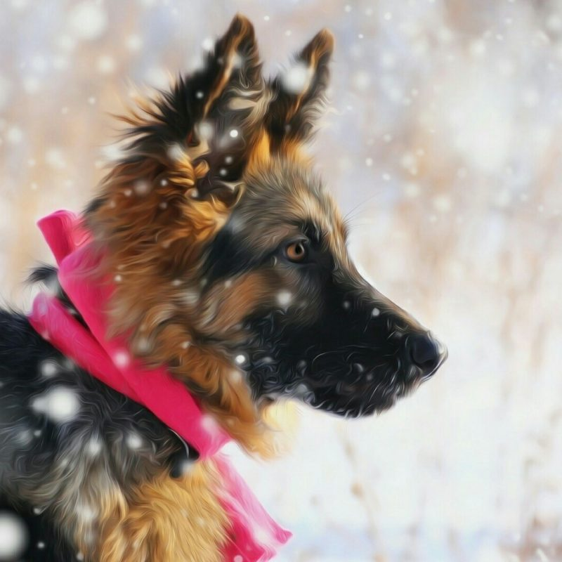 10 Top German Shepherd Puppy Wallpaper Full Hd 1920 1080 For Pc Desktop