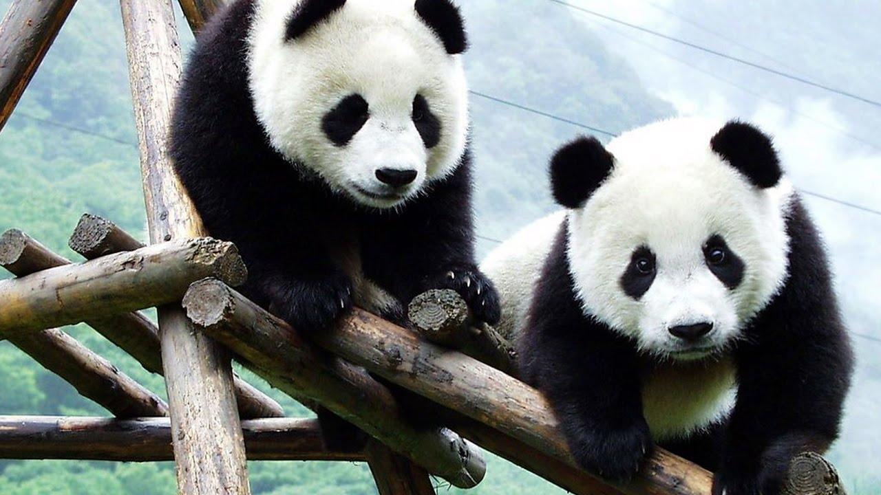 omg!! so cute! baby panda playing - youtube