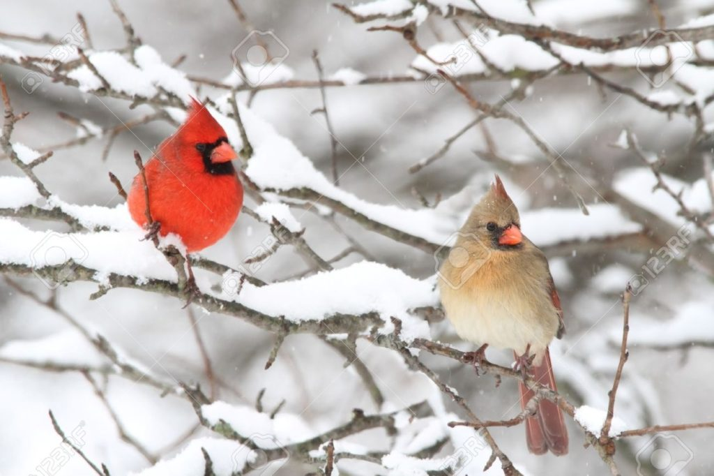 10 Most Popular Cardinal In Snow Pictures FULL HD 1920×1080 For PC Background 2020 free download pair of northern cardinal cardinalis cardinalis in a tree in 1024x682