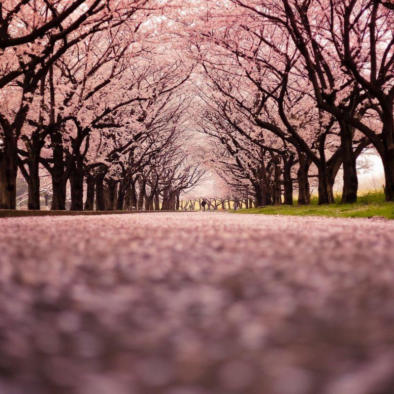 10 Best Cherry Blossom Desktop Backgrounds FULL HD 1920×1080 For PC Desktop 2018 free download park cherry blossoms in hd hd desktop wallpaper instagram photo 1 800x800