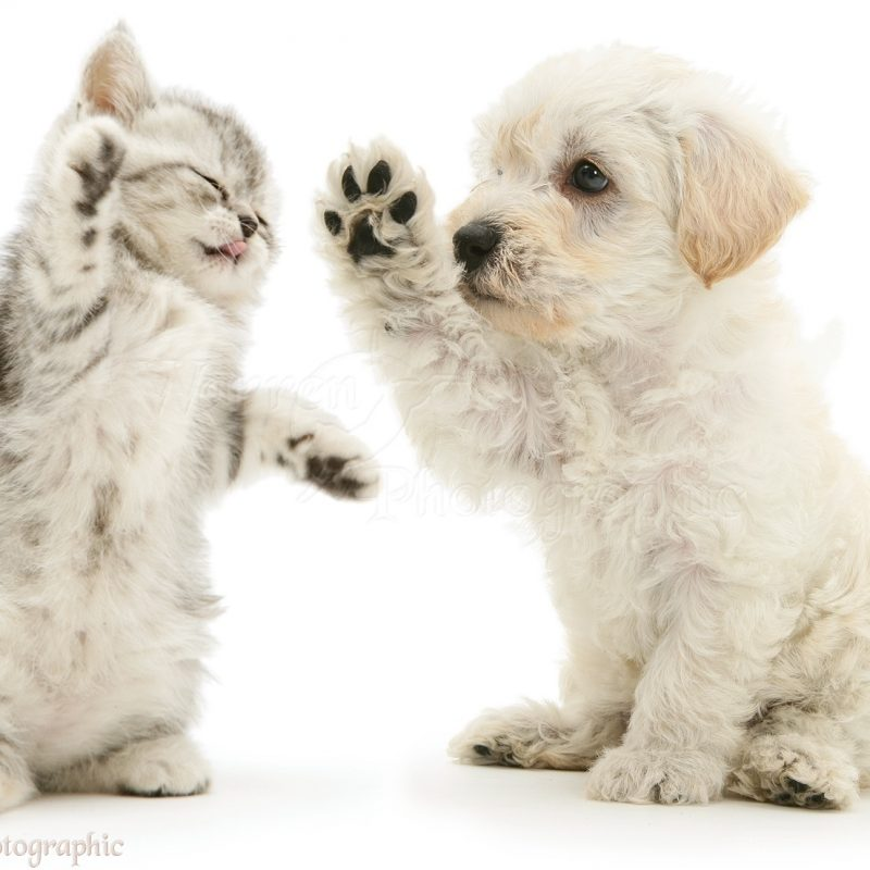 10 Most Popular Puppies And Kittens Pics FULL HD 1920×1080 For PC Desktop 2018 free download pets woodle puppy and kitten boxing photo wp16066 1 800x800