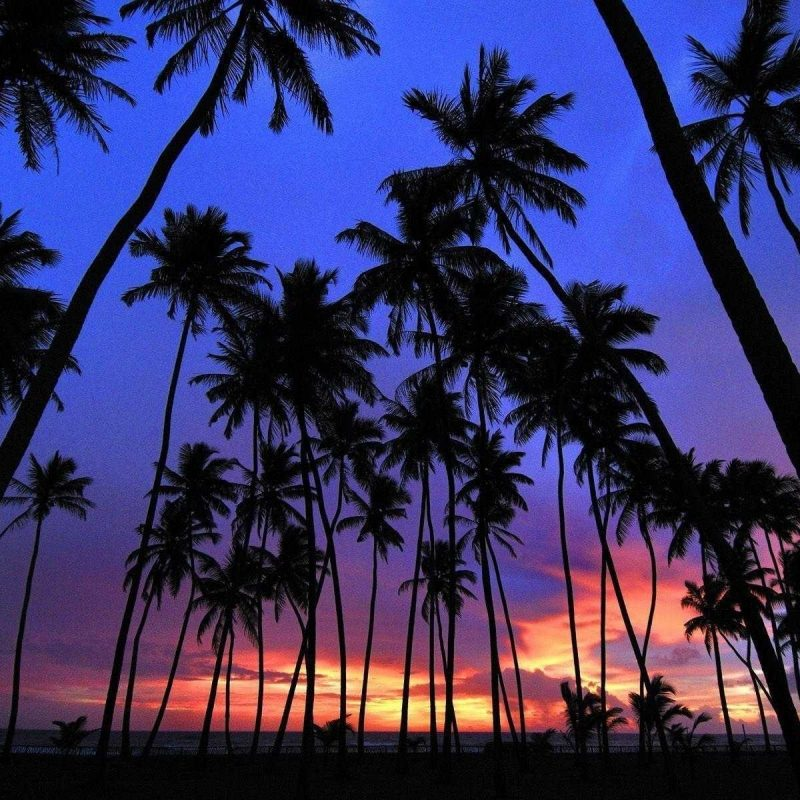 10 Best Hd Palm Tree Wallpaper FULL HD 1080p For PC Desktop 2018 free download photos for palm tree wallpaper trees hd pics androids wallvie 800x800
