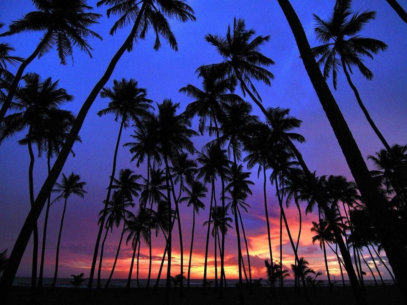 photos for palm tree wallpaper trees hd pics androids   wallvie