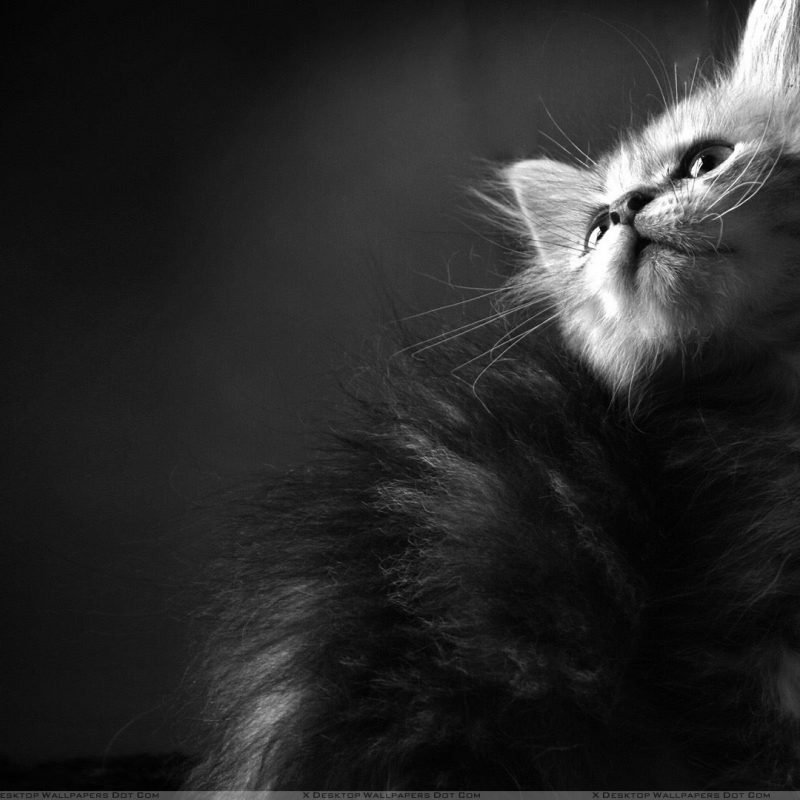 10 New Black And White Cat Wallpaper FULL HD 1080p For PC Desktop 2018 free download pics of black and white cat wallpaper 800x800