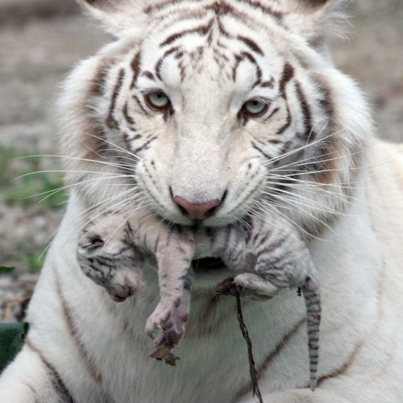 10 Latest Pictures Of Baby White Tigers FULL HD 1080p For PC Background 2018 free download picture 1 of 2 kiev ukraine a beautiful white tiger that became 800x800