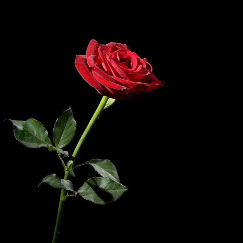 10 New Red Roses With Black Backgrounds FULL HD 1080p For PC Background 2018 free download pinhuc2a7am alkhateb on rose pinterest rose wallpaper and pink 800x800