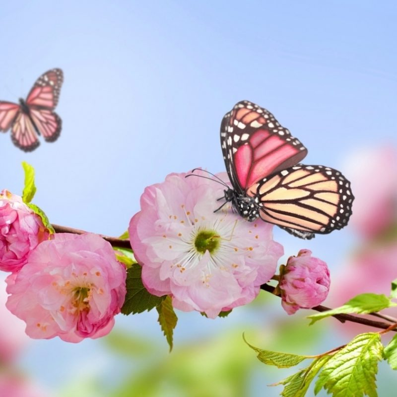 10 Top Butterfly With Flowers Wallpapers FULL HD 1920×1080 For PC Desktop 2018 free download pink flowers blooms and butterfly wallpaper butterflies 800x800