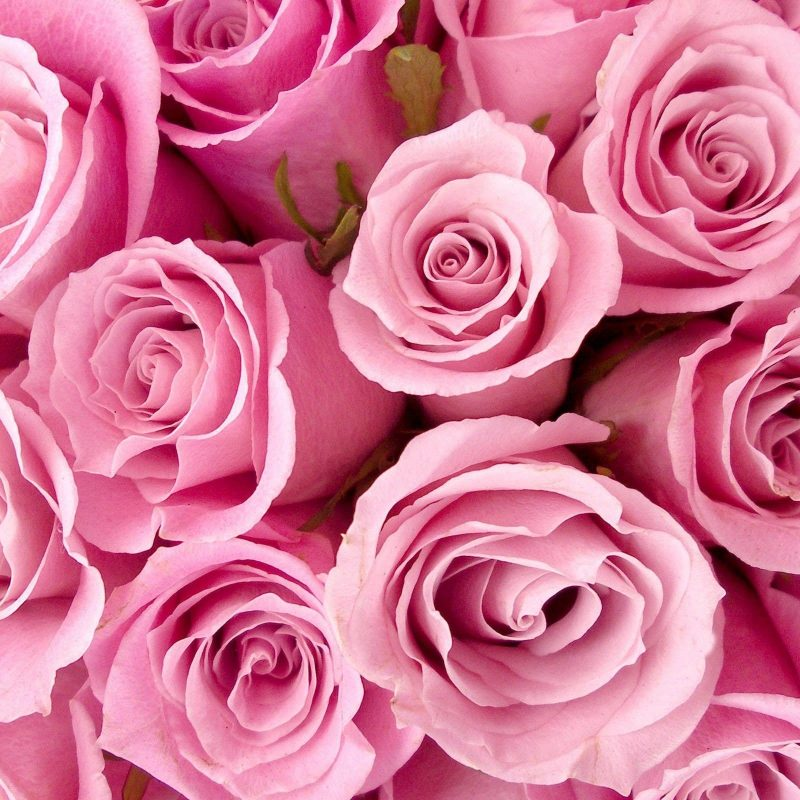 10 Latest Pink Rose Background Wallpaper FULL HD 1920×1080 For PC Background 2018 free download pink rose backgrounds wallpaper cave 800x800