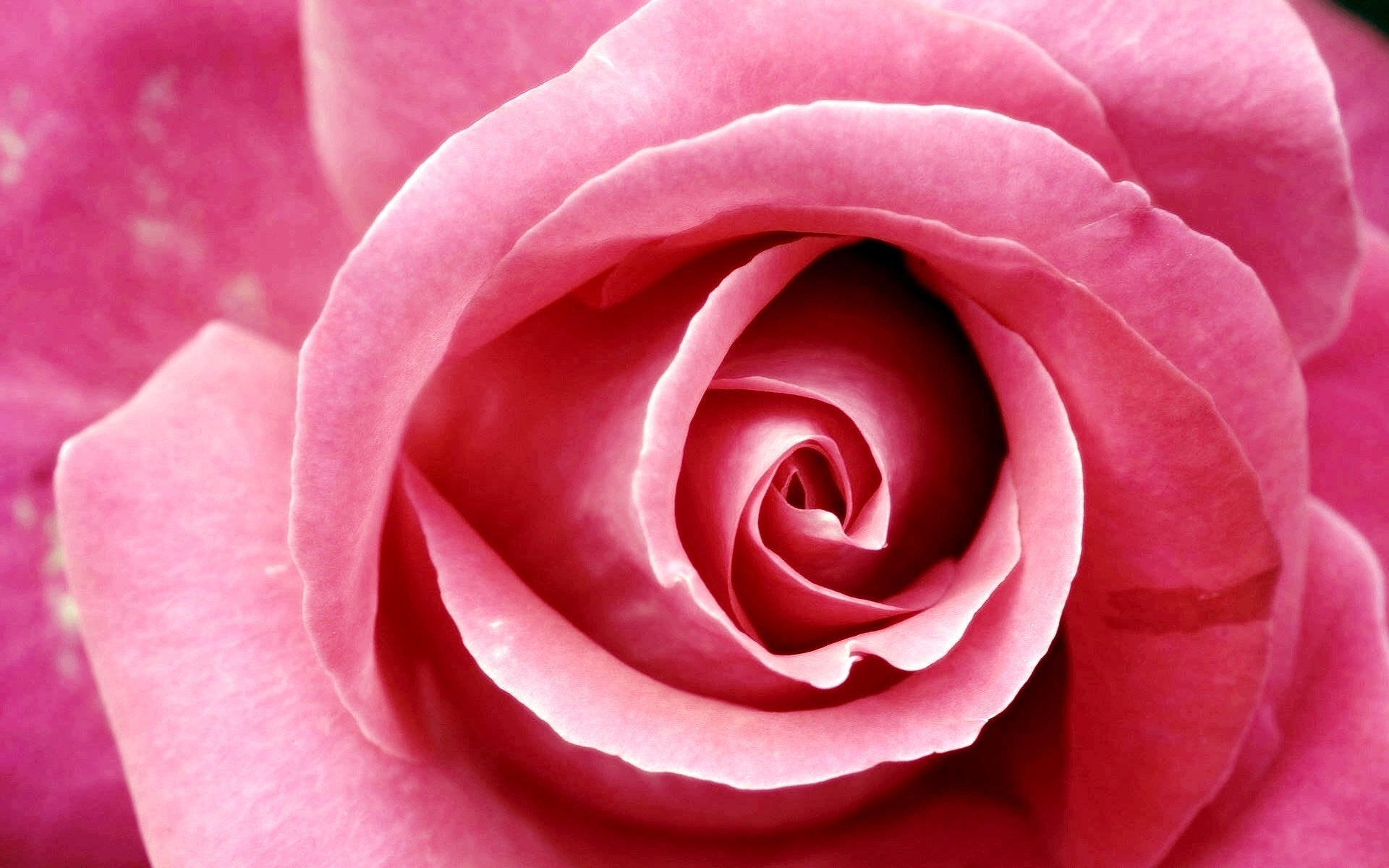 pink rose pictures download free | pixelstalk