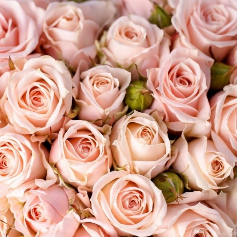 10 New Light Pink Rose Background FULL HD 1920×1080 For PC Desktop 2018 free download pink rose wallpapers hd pictures desktop background 800x800