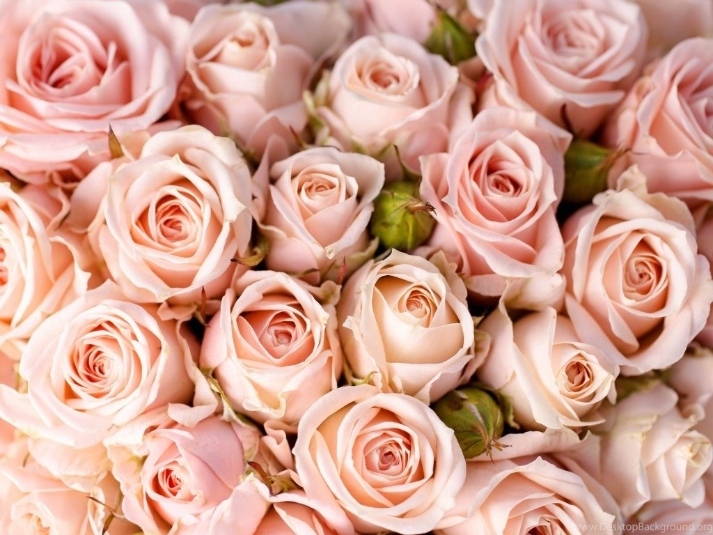 pink rose wallpapers hd pictures desktop background