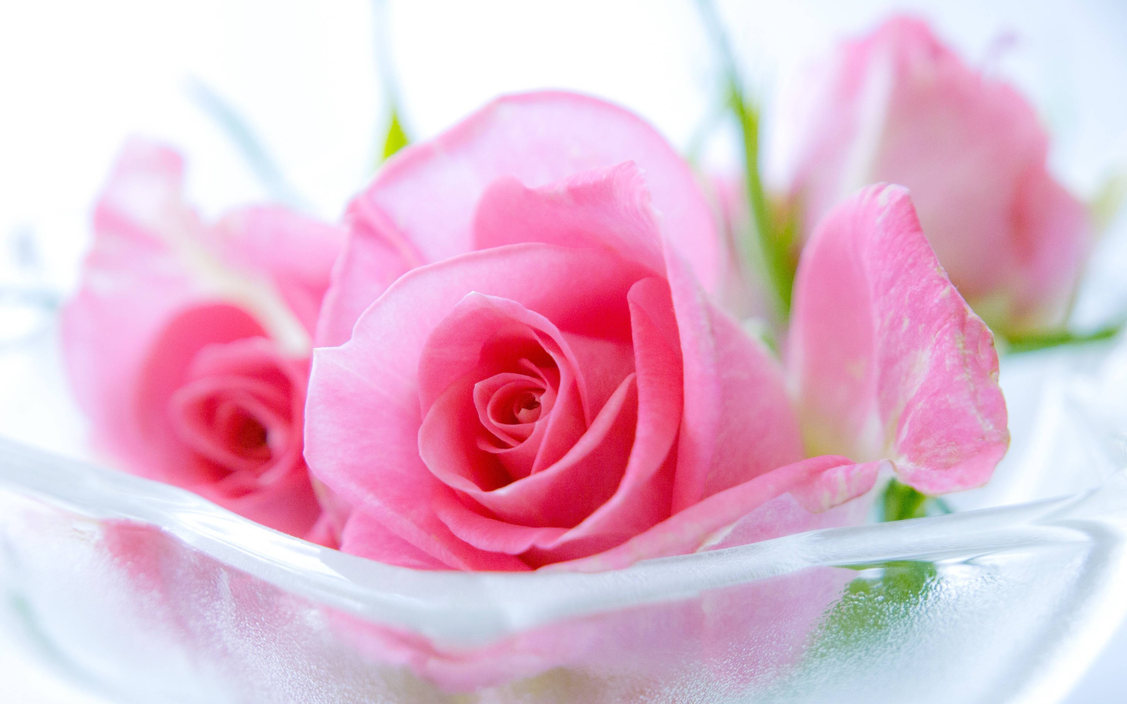 pink rose wallpapers images ~ desktop wallpaper box