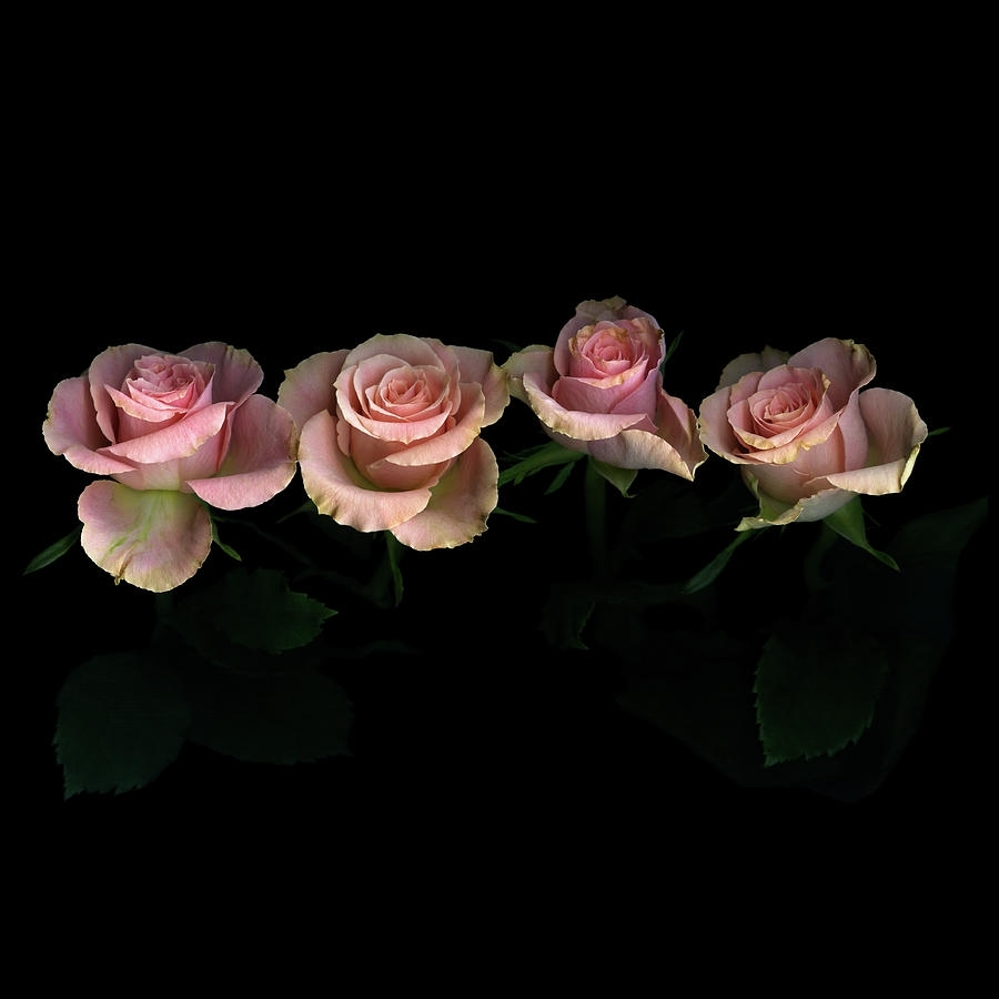 pink roses on black background photographphotographmagda indigo