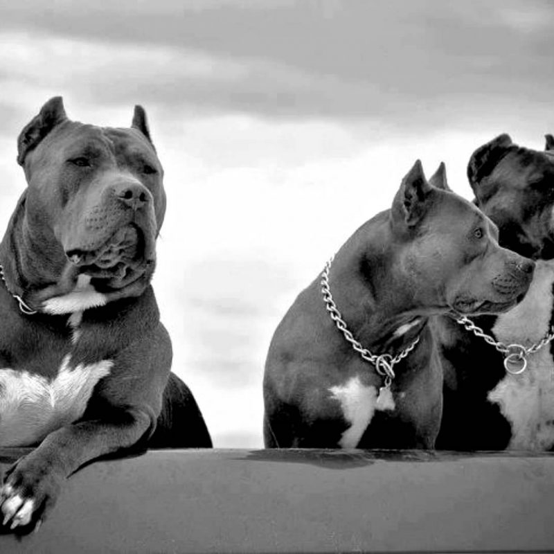 10 New Wallpaper Of Pit Bulls FULL HD 1080p For PC Desktop 2018 free download pit bull hd wallpapers backgrounds wallpaper 1920x1080 800x800