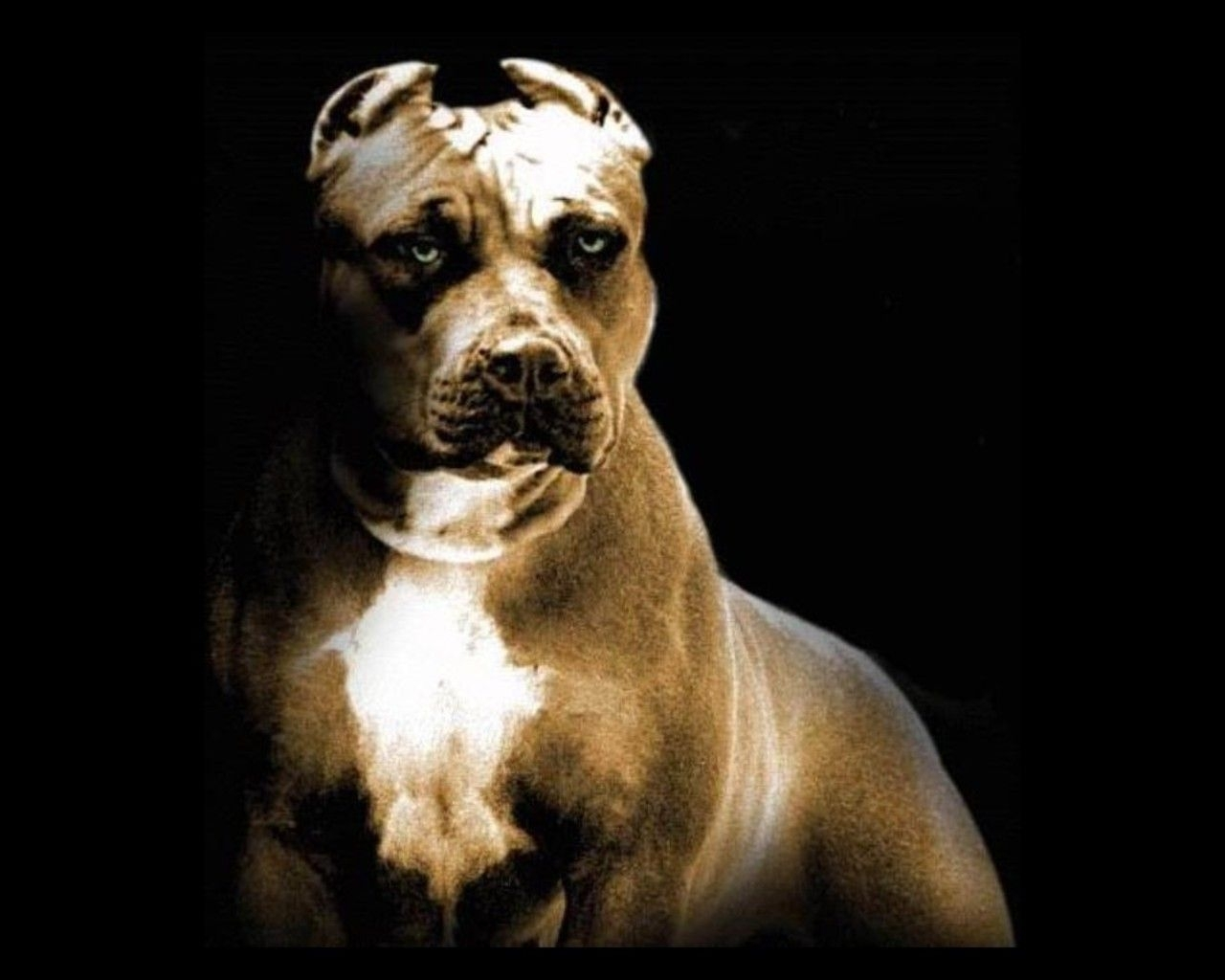 pitbull wallpapers old pitbul | dogs wallpapers | pinterest | dog