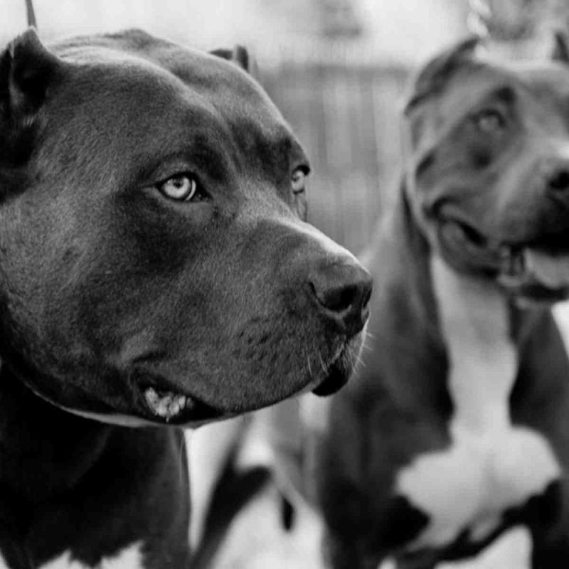 10 New Wallpaper Of Pit Bulls FULL HD 1080p For PC Desktop 2018 free download pitbull wallpapers two pitbulls in black and white dogs wallpapers 800x800