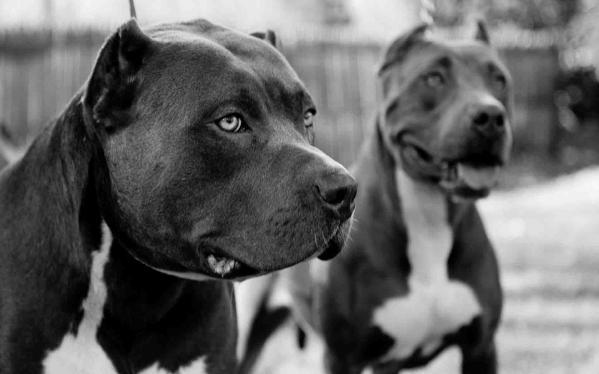pitbull wallpapers two pitbulls in black and white | dogs