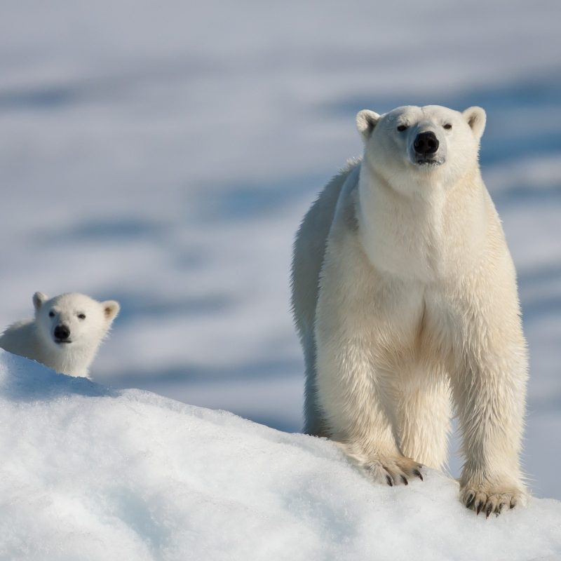 10 New Baby Polar Bear Wallpaper FULL HD 1080p For PC Background 2018 free download polar bear and baby e29da4 4k hd desktop wallpaper for 4k ultra hd tv 1 800x800