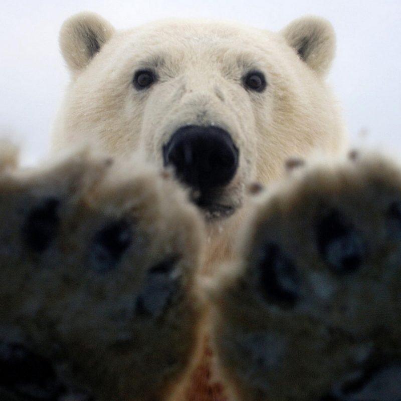 10 Best Polar Bear Desktop Wallpaper FULL HD 1920×1080 For PC Background 2018 free download polar bear hd wallpapers 18230 baltana 800x800