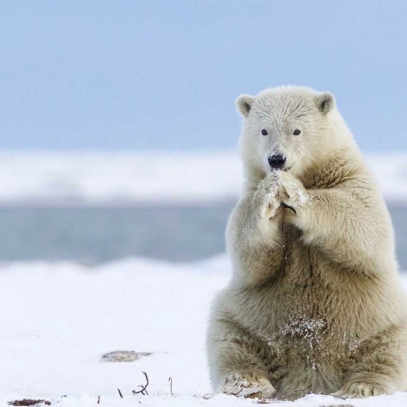 10 New Cute Polar Bear Wallpaper FULL HD 1920×1080 For PC Background 2018 free download polar bear wallpaper high quality animals wallpapers pinterest 800x800