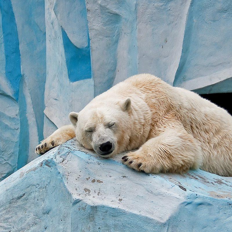 10 Best Polar Bear Desktop Wallpaper FULL HD 1920×1080 For PC Background 2018 free download polar bear wallpapers desktop background free download subwallpaper 800x800