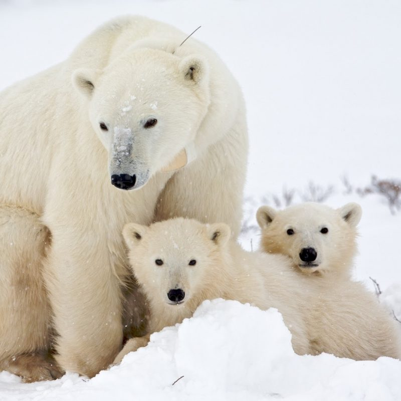10 New Cute Polar Bear Wallpaper FULL HD 1920×1080 For PC Background 2018 free download polar bears images cute polar bear e299a1 hd wallpaper and background 800x800
