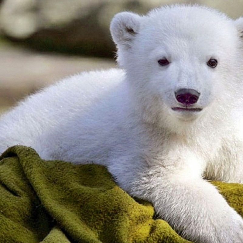 10 New Baby Polar Bear Wallpaper FULL HD 1080p For PC Background 2020 free download polar bears wallpapers group 77 800x800