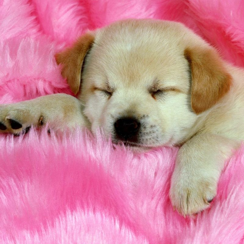 10 Most Popular Cute Puppies Wallpapers For Computer FULL HD 1920×1080 For PC Background 2018 free download print puppy pictures free 20 free cute puppy dogs puppies 1 800x800