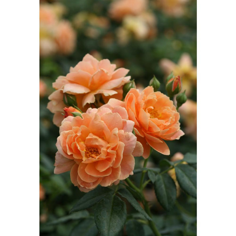 10 Most Popular A Rose Pic FULL HD 1920×1080 For PC Desktop 2018 free download proven winners 1 gal at last orange flowers rose rosa live shrub 800x800