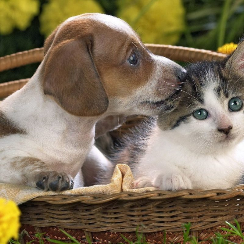 10 Top Puppies And Kittens Wallpaper FULL HD 1080p For PC Desktop 2021 free download puppies and kittens wallpaper c2b7e291a0 2 800x800