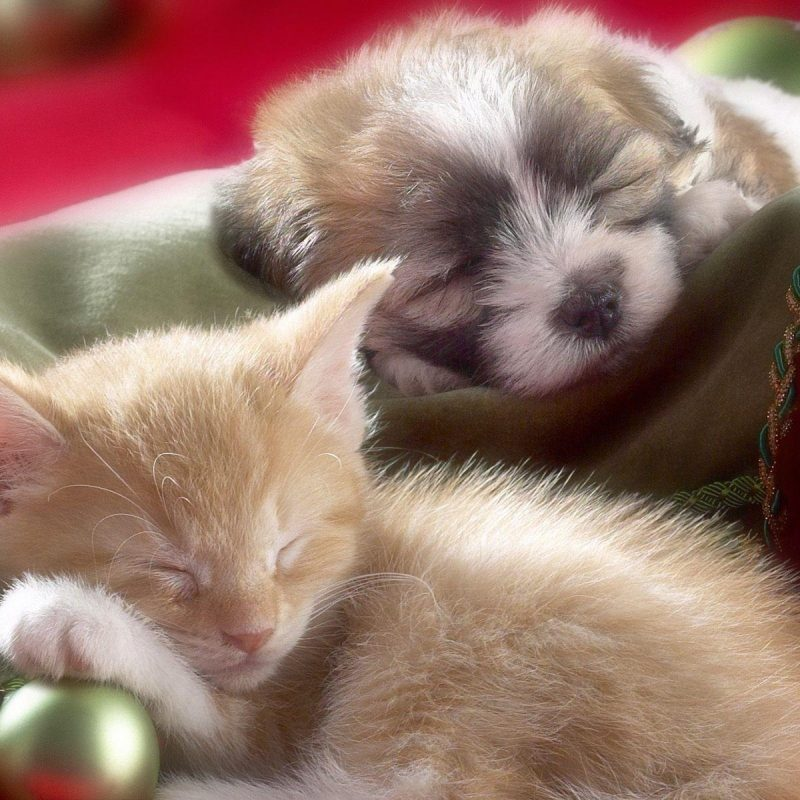 10 Latest Cute Puppy And Kitten Pics FULL HD 1920×1080 For PC Desktop 2020 free download puppies and kittens wallpapers wallpaper cave 4 800x800