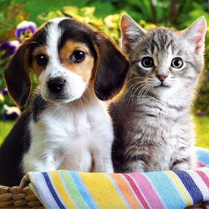 10 Top Cute Kittens And Puppies FULL HD 1080p For PC Background 2018 free download puppies and kittens wallpapers wallpaper cave best games 800x800