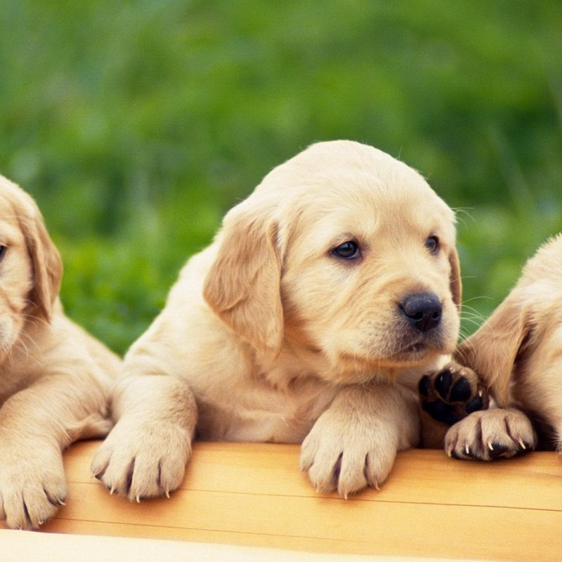 10 Most Popular Puppies Wallpapers Free Download FULL HD 1920×1080 For PC Background 2018 free download puppies free hd top most downloaded wallpapers page 12 800x800