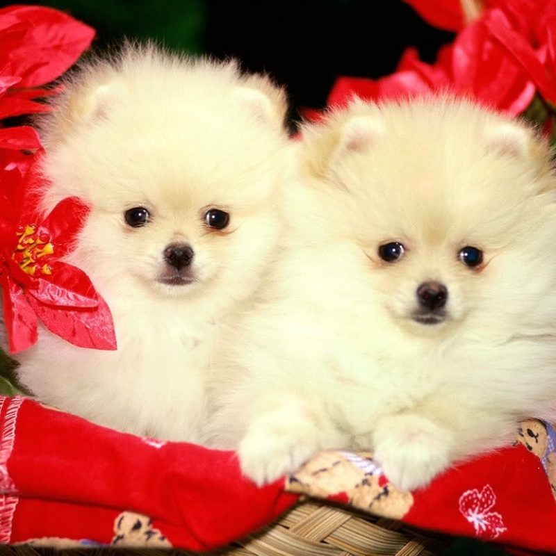10 Most Popular Puppies Wallpapers Free Download FULL HD 1920×1080 For PC Background 2018 free download puppies wallpapers free download group 81 1 800x800