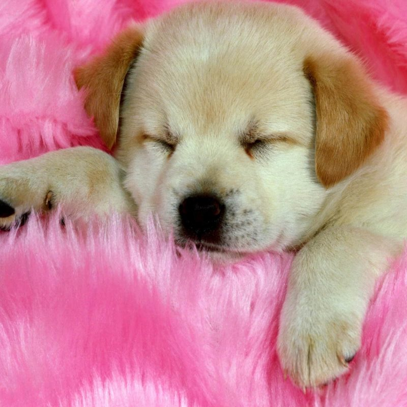 10 Most Popular Puppies Wallpapers Free Download FULL HD 1920×1080 For PC Background 2018 free download puppies wallpapers free download group 81 800x800